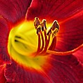 Red Lily Center 3 by Sarah Loft