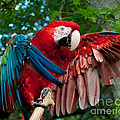 Red Macaw by Stephen Whalen