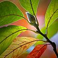 Red Magnolia Leaves With Bud by Randall Nyhof