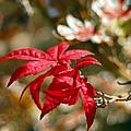 Red Maple by Julian Garza