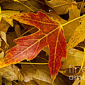 Red Maple Leaf by James BO  Insogna