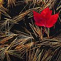 Red Maple Leaf On Pine Needles In Pool by Mike Grandmailson
