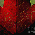 Red Maple Leaf by Penny Haviland