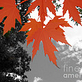 Red Maple Leaves by Mary Mikawoz