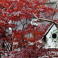 Red Maple by Living Color Photography Lorraine Lynch