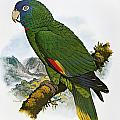 Red-necked Amazon Parrot by Granger