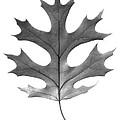Red Oak Leaf by Jason Smith