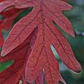 Red Oak Leaf by Susan Herber