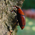 Red Palm Weevil by Alessandro Della Pietra