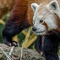 Red Panda Exploration by Greg Nyquist