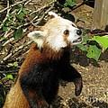 Red Panda Feeding Time by Ausra Huntington nee Paulauskaite