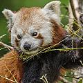 Red Panda Grasping by Greg Nyquist