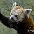 Red Panda by Heiko Koehrer-Wagner