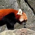 Red Panda by LeeAnn McLaneGoetz McLaneGoetzStudioLLCcom
