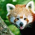 Red Panda by Vic Sharratt