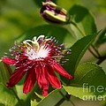 Red Passion Flower by Living Color Photography Lorraine Lynch