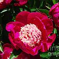 Red Peony Flowers Series 3 by Eva Kaufman