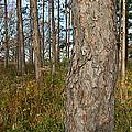 Red Pine Forest by Steve Gadomski