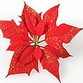 Red Poinsettia Flower by Matthias Hauser