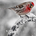 Red Poll - Cold But Hungry by Thomas J Martin