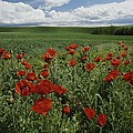 Red Poppies Edge A Field Near Moscow by Michael Melford