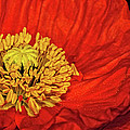 Red Poppy by Dave Mills