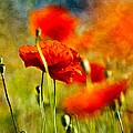 Red Poppy Flowers 01 by Nailia Schwarz
