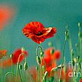 Red Poppy Flowers 06 by Nailia Schwarz