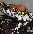 Red Rain Frog by Dante Fenolio