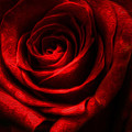 Red Red Rose by Jeanean Gendron