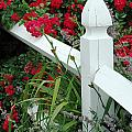 Red Rhododendron And White Post by Mike Nellums
