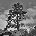 Red Rock Pine by David Bearden