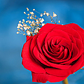 Red Rose And Baby Breath by Randall Branham