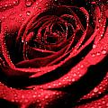 Red Rose Beauty by Keith Allen
