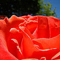 Red Rose Flower Fine Art Prints Roses Garden by Baslee Troutman