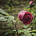Red Rose In Water Drops by Alex AG