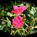 Red Rose Vignette by Kathy Lewis
