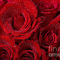 Red Roses And Water Drops by James BO  Insogna