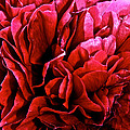 Red Ruffles by Susan Herber