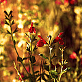 Red Salvia by Kelly Rader