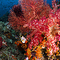 Red Sea Fan And Soft Coral In Raja by Todd Winner