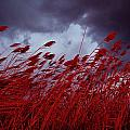 Red Sea Oats Blow In The Wind by Medford Taylor