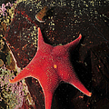 Red Sea Star And Limpet On Brown Rock by Mathieu Meur