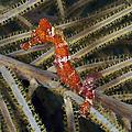 Red Seahorse On Caribbean Reef by Karen Doody