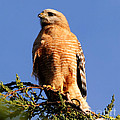 Pismo Beach Red Shoulder Hawk by Tap On Photo