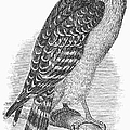 Red-shouldered Hawk, 1890 by Granger