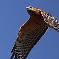Red-shouldered Hawk - Apache by Travis Truelove