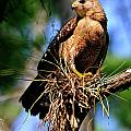 Red-shouldered Hawk by Bill Dodsworth