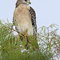 Red Shouldered Hawk by Patrick M Lynch