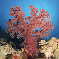 Red Soft Coral,  Australia by Todd Winner